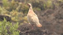 Chukar Partridge Gamebird on Lava Field in Hawaii Stock Footage