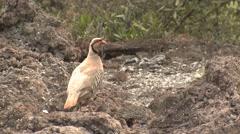 Exotic Gamebird Chukar Partridge in Hawaii Lava Field Stock Footage