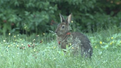Snowshoe Hare Rabbit in Forest Opening Meadow in Summer Stock Footage
