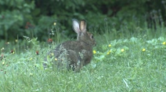 Snowshoe Hare Bunny Rabbit in Canada Feeding in Summer on Green Plants - stock footage