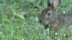 Snowshoe Hare Bunny Rabbit in Summer Feeding on Green Grass - stock footage