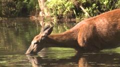 Deer Feeding in Water on Plants in Pond in Summer Stock Footage