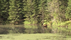 White-tailed Deer Doe Standing in Water in Lake and Feeding in Summer - stock footage