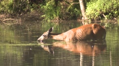 North American White-tailed Deer in Lake or Pond Feeding on Plants Stock Footage