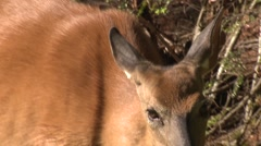 Extreme Closeup of North American White-tailed Deer Face Eyes and Mouth Stock Footage
