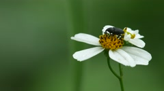 Snout beetle drinking nectar from flower Stock Footage