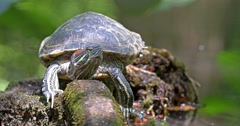 Pond Green Turtle Close Up Stock Footage
