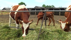 Cows feeding in the paddock. - stock footage