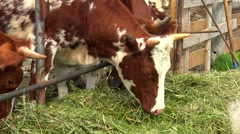 Herd of cows feeding in the paddock outside. Stock Footage