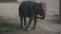 Little elephant on a hill in Phuket, Thailand Stock Footage