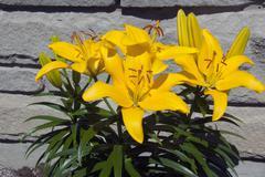 Yellow lilium - stock photo