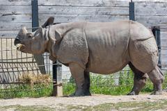 Rhinoceros unicornis Stock Photos