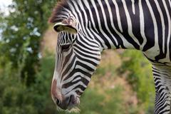 Grevy zebra - stock photo