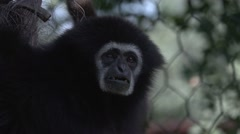 Siamang Gibbon Looking at Camera - stock footage
