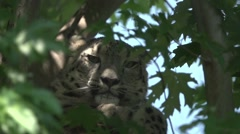 Snow Leopard Relaxing on A Tree, Turn Head in Slow Motion Stock Footage