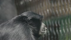 Siamang Gibbon Slow Motion - stock footage