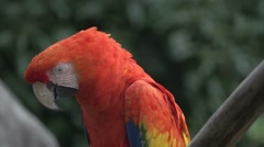 Scarlet Macaw, Slow Motion Stock Footage