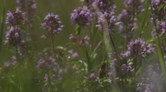Thyme and bee in the mountains Stock Footage