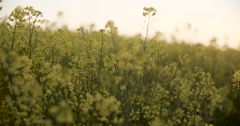 Blooming canola field. Rape on the field in summer. Bright Yellow rapeseed oil Stock Footage