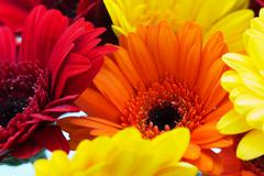 Close up of a red gerbera daisy - stock photo