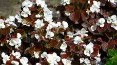 Beautiful white flowers with brown leaves Stock Footage