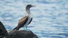 Close up of a blue-footed booby on isla lobos in the galalagos Stock Footage