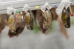 Pupa from butterflies Stock Photos