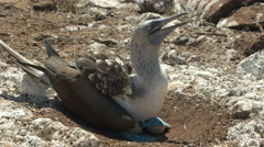 Nesting blue-footed booby in the galalagos islands Stock Footage