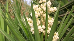 Zoom out from yucca flowering Stock Footage
