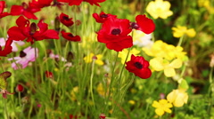 Group of red ripe anemones on wind Stock Footage