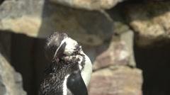 Humboldt Penguin, Slow Motion Stock Footage