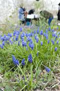 Blue grape hyacinth in garden Stock Photos