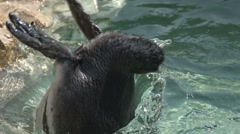Amazing Humboldt Penguin Dive Into Water in Slow Motion - stock footage