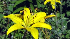 Close up of the yellow lily flower Stock Footage