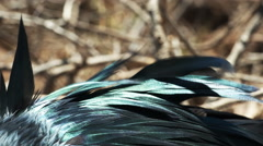 Extreme close up of the iridescent feathers of a frigatebird Stock Footage