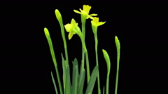 Growing, opening and rotating Narcissus in RGB + ALPHA matte format - stock footage