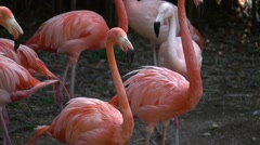 Red Flamingos Stock Footage