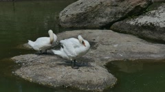 Two swan preening its feathers while sitting on a large stone Stock Footage