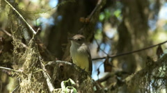 Galapagos flycatcher on isla santa cruz in the galapagos islands Stock Footage