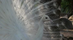 White Peacock Showing His Beautiful Tail - stock footage