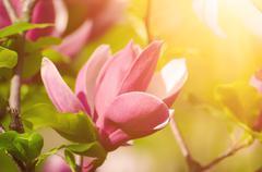 Magnolia spring flowers Stock Photos