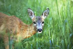 Portrait of wild roe deer in the grass - stock photo