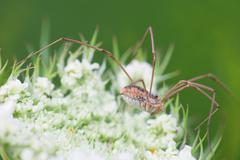 Macro photography of Opiliones species on flower Stock Photos