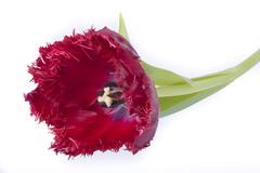 Red tulip with blue heart and cartels Stock Photos
