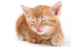 Auburn striped kitten lies on a white background. - stock photo