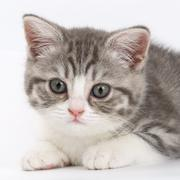 Grey kitten on white background looking right. Portrait of the Scottish cat. Stock Photos