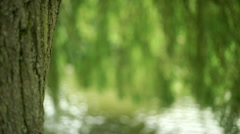 Willow tree trunk with branches over water in the background. Stock Footage