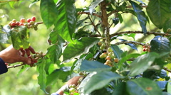 Ripe cherries Coffee Beans are either harvested by hand - stock footage