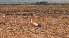 White stork in harvested wheat stubble field Stock Footage