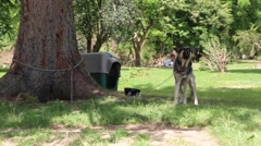 Barking German Shepherd Dog Chained To Tree Stock Footage